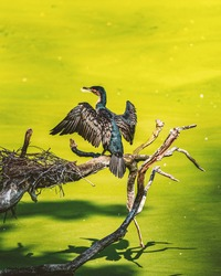 A great cormorant preparing his jump to catch a fish
