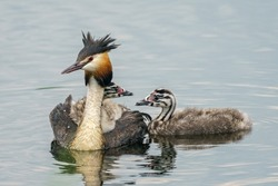 A great crested grebe swimming with chicks