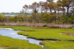 A Great Egret (Ardea alba) foraging in salt marsh wetlands at Assateague Island National Seashore, Maryland