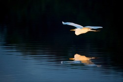 A Great Egret flies in the early morning sunlight over the water with its wings spread.