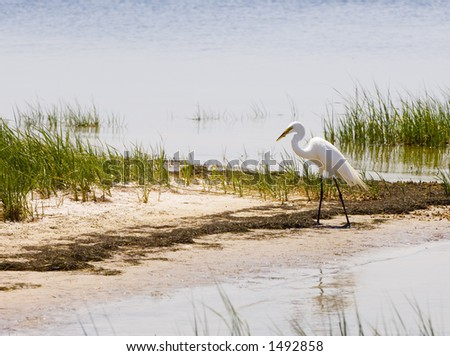 A great egret looks for food along the shore of the Gulf of Mexico