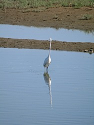 A great egret wading in blue seawater with reflection of itself at wetland in Qinhuangdao China