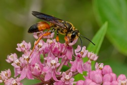 A Great Golden Digger Wasp is collecting nectar from a pink Milkweed flower. Also known as a Great Golden Sand Digger. Taylor Creek Park, Toronto, Ontario, Canada.