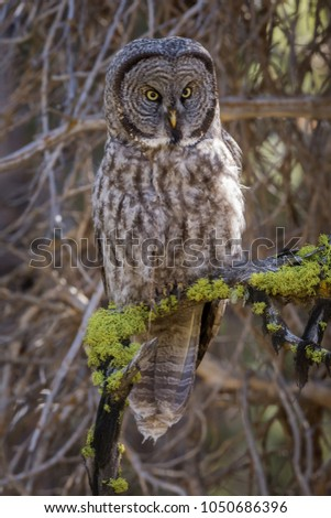 A great gray owl is beautifully camouflaged in a boreal forest.