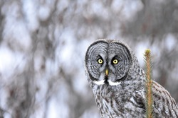 A Great Gray Owl pauses atop a spruce tree in the Alaskan wilderness.