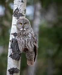 A great grey owl in Canada