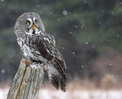 A Great Grey Owl (Strix nebulosa) looking up, while perched on a stump with snow falling in the background.