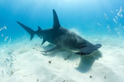 A great hammerhead forages for food in the seas of the Bahamas