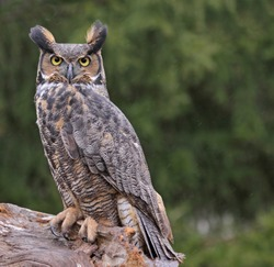 A Great Horned Owl (Bubo virginianus) looking at the camera in the rain.