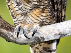 A Great Horned Owl grasps a branch with big talons