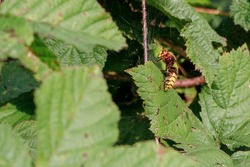 a Great Hornet flies over the bushes in search of prey
