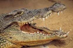 a great nile crocodile with open jaws