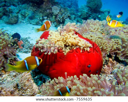 A great number of clownfish over a beautiful red  anemone in the Red Sea, Egypt