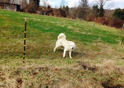A great Pyrenees dog defends its field