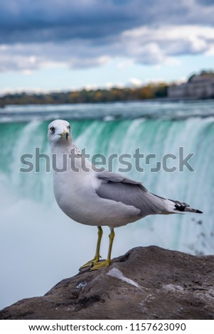 A  great sea gull close up pic . This majestic bird poses nonchalantly for passing Tourists, blissfully unaware of the grand falls behind. The great falls,clouds & fall foliage form a perfect backdrop