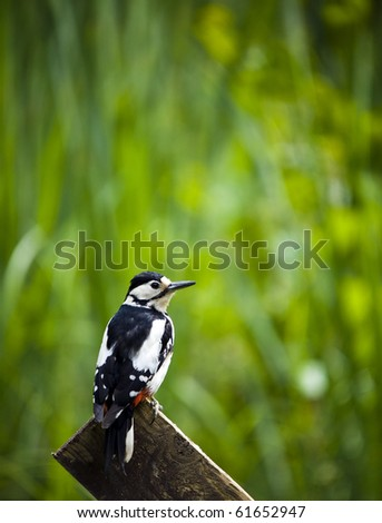 A Great Spotted Woodpecker Perched On A Fence Post