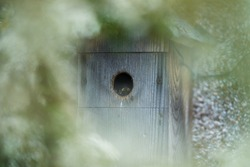 A Great tit chick looks out of its bird box ready to fledge