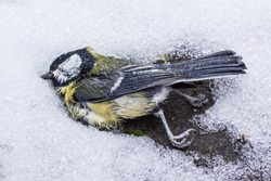 A great tit that has died in the winter