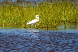 A great white Egret (Ardea alba) walking in the Marsh. This is a large waterbird living across the USA. This image was taken at the wildlife refuge in Assateague Island.