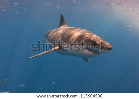 A great white shark turns through the water at a popular dive tourism destination at Guadeloupe island Mexico