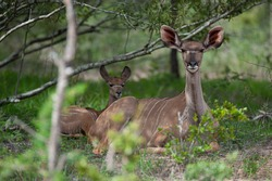 A Greater Kudu cow and her calf seen on a safari in South Africa