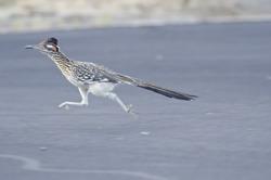 A greater roadrunner running across a road in Anza Borrego Desert State Park.