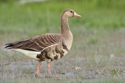 A Greater White-fronted Goose wanders through a coastal marsh in south central Alaska.