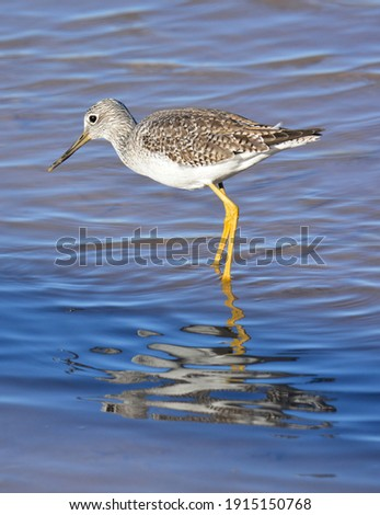 a greater yellowlegs shorebird foraging in a pond in the bosque del apache national wildlife refuge near socorro, new mexico Foto stock ©
