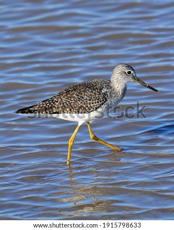 a greater yellowlegs shorebird striding through the shallow water at bosque del apache national wildlife refuge near socorro, new mexico Foto stock ©