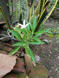 a gree urang aring or eclipta alba with white flower for hair beauty