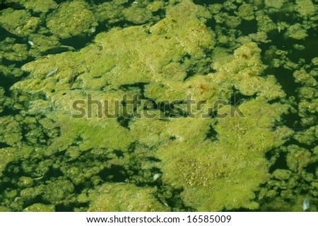 A Green Algae Floating In A Pond Stock Photo 16585009