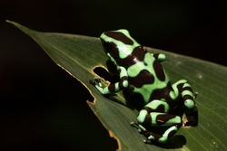 A green-and-black poison dart frog (Dendrobates auratus), or poison arrow frog displaying its warning colouration in the rainforests of Costa Rica
