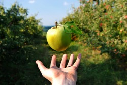 A green apple hovers over a hand in an orchard