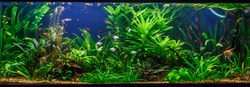 A green beautiful planted tropical freshwater aquarium with fishes,zebra angelfish pterophyllum scalare aquarium