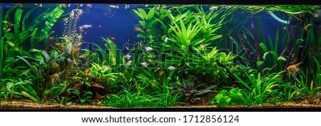 A green beautiful planted tropical freshwater aquarium with fishes,zebra angelfish pterophyllum scalare aquarium  Сток-фото ©
