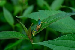 A green blue review with red eyes and yellow antenna Chameleon Grasshopper stick to the leaves