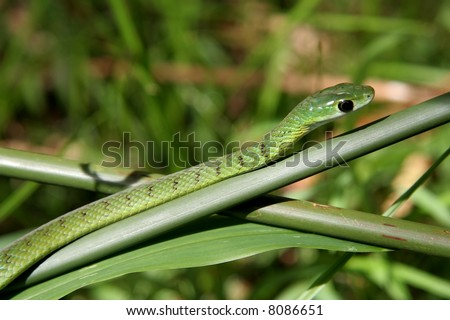 A green boomslang snake slithering up a reed