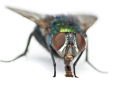 A green bottle fly isolated on a white background