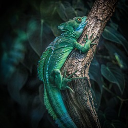 A green chameleon on a tree branch