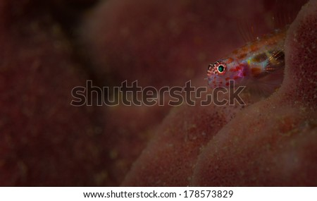 A green eye makes a goby stand out against its coral background on the Lembeh Straits, North Sulawesi, Indonesia