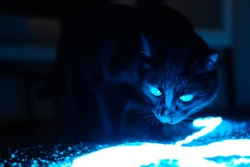 A green eyed black cat standing on a carpet in front of a chair and lookin at the shining blue colored led neon strip light in a dark room