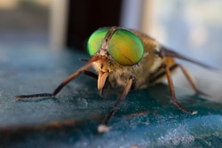 a green-eyed fly. Philipomyia aprica is a species of 'horse flies' of the family Tabanidae.