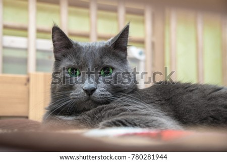 A green-eyed gray cat is lying on a sofa on a plaid and looks at the camera #780281944