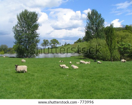 A green farmers field with grazing sheep