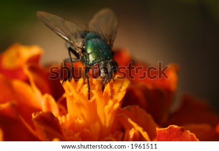 A green fly on a orange flower