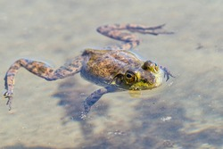A Green Frog is floating on the surface of the muddy water. Sproat Lake Provincial Park, Vancouver Island, Canada