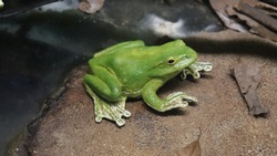 A green frog sitting near the pond.