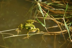 A green frog swimming in the pond