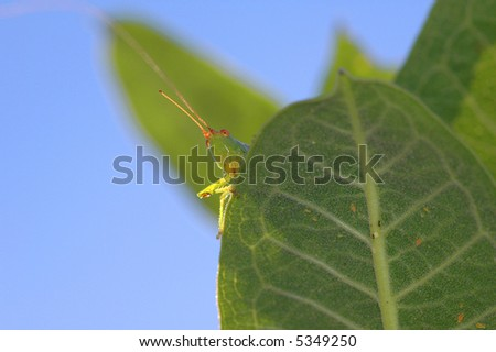 A green grasshopper looks over the edge of a leaf on a sunny day.