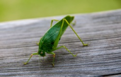 A Green Grasshopper of the Greater Angle-wing Katydid species.